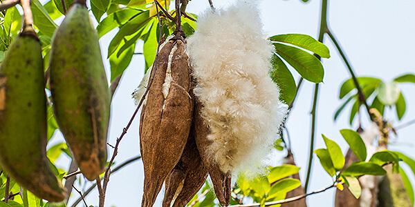 Die kostbare Frucht des Kapokbaumes